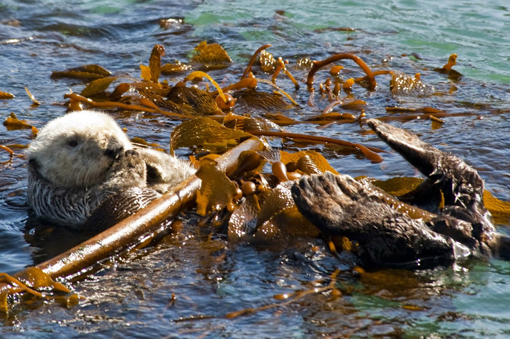 otter in kelp Evans 3